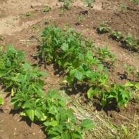 2010ecoculturebeans01.jpg